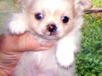 I have 2 beautiful male akc reg Chihuahua pups one is a