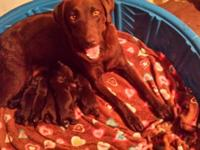 Beautiful and healthy chocolate Lab puppies are