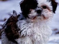 QUALITY AKC Shih Tzu Puppies 2 Show Quality Females