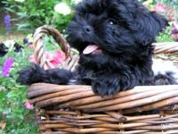 QUALITY AKC Shih Tzu Pups-Home raised with LOVE! Born: