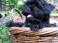 . HIGH QUALITY AKC Shih Tzu Male-Home raised with