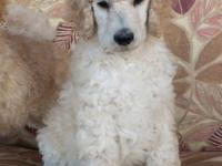 Quality AKC Registered Standard Poodle . 12 week old