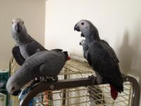 Quality Baby African Grey parrot Cuddly tame. Hand