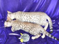 Quality TICA Bengal kittens. Brown rosetted, brown