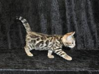 We have male and female kittens available from top show
