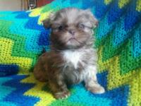 AKC liver shih tzu. Male. Mommy is a 10 pound lavender