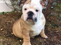 Ukrainian import male English bulldog puppy available !