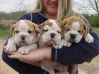 Quality English Bulldogs Puppies ready for new home