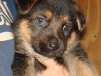 Great family pet type GSD. Not from working lines so