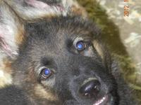 AKC German Shepherd Pups !! Very Nice East(DDR) And