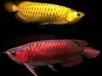 Animal Type: Fishes High quality Arowana's fihes for