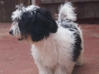 quality Havanese  at a sensible price available