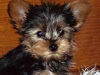 Teacup Yorkie Puppies For Sale In Michigan Classifieds Buy And