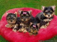 Quality Home Raised Tea-Cup Yorkie Puppies Available.