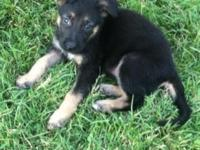 Quality Black and Tan German Shepherd puppies out of