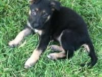 Quality Black and Tan  female puppies out of Czech