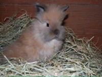 3 quality, beautiful Lionhead bunnies available for