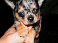 Hi I have an adorable male merle Chihuahua looking for