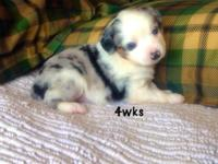 We have 2 left from this litter. Ready Aug. 13. A male