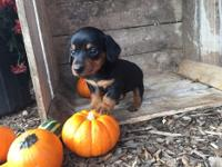 Quality miniature Dachshund puppies.Pups just turned 9