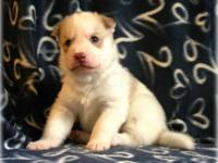 $1100 FULL AKC Breeding Rights ~ ~ Dam is a copper and