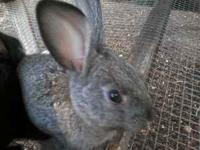 4 week old bunnies, 7 available to choose from,