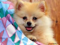 Animal Type: Dogs Pomeranian. He is 13 weeks old and is