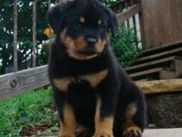 Quality Rottweiler puppies ready for new home sale