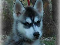 850 AKC limited $1200 AKC Full registration/Breeding