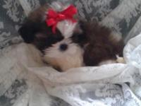 Currently have 4 small AKC male Shihtzu available. They