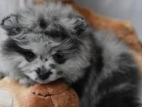 Beautiful teacup Pomeranian puppies for sale, that have