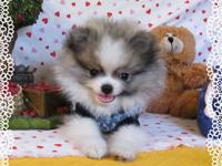 Quality teacup and toy pom puppies for the