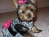 We got Healthy, Well Tamed, Pure Bred Teacup Yorkies