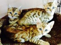 TICA bengal kittycats will be all set in about a month.