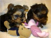 Animal Type: Dogs Breed: yorkies Quality Tiny Yorkie