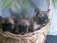 Exceptional quality frenchie pups fo sale sired by @