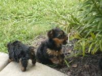 Quality Yorkie puppies for adoption  Cute Teacup Yorkie