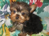 READY TO GO - 10 weeks old Healthy & happy Yorkies - 4