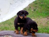 Quality AKC Rottweiler Puppies. Champion Imported Sire.