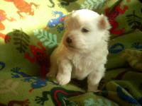 I have two beautiful male Maltese puppies. Nice thick