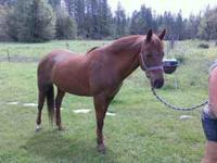 14 yr quarter/arab mare. good horse just have too many.