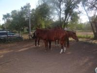 """Cash"" is a registered Horse- trained for barrels and"
