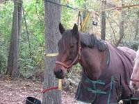 8 year old bay roan quarter horse,15 hands.very quiet