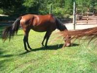 I have 5 yrs. old bay quarter horse been saddle 3 three
