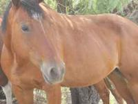 Quarter horse for sale great on the trails has been