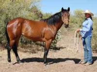 15h, 6 yr. old grade mare. Great disposition! Very calm