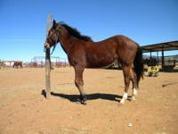 Nice quarter horse colt. Sorrel with faint dun