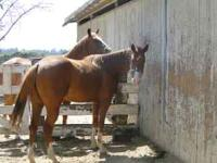 3 yr old Quarter horse filly, No papers but was told