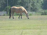 Charlie is a 13 year old registered quarter horse. He