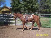 Sorrel, 4 year old gelding. (doc OLena breeding) Not